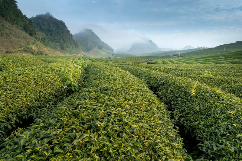 a field full of green tea leaves, which are  high in L-Theanine